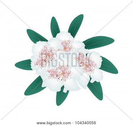 White Rhododendron With Green Leaves On White Background