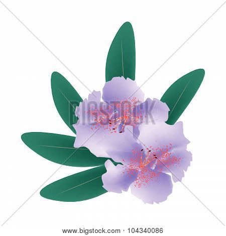 Purple Rhododendron With Green Leaves On White