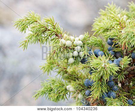 Closeup Of A Branch Of Juniper Berriy