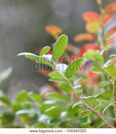 Closeup Of A Green Branch Of Lingon Berriy