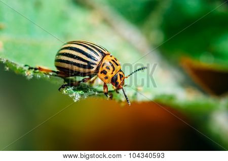 Colorado Potato Striped Beetle Leptinotarsa Decemlineata