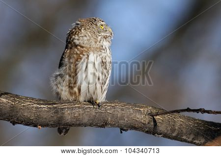 Perching Pygmy Owl In Spring
