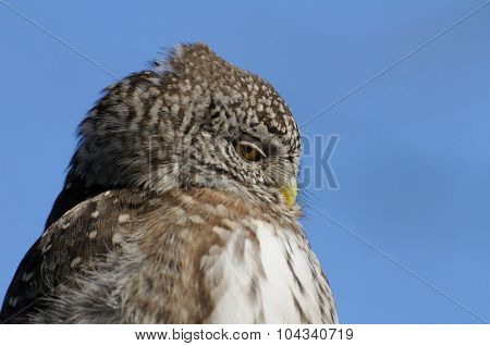 Closeup Portrait Of Pygmy Owl