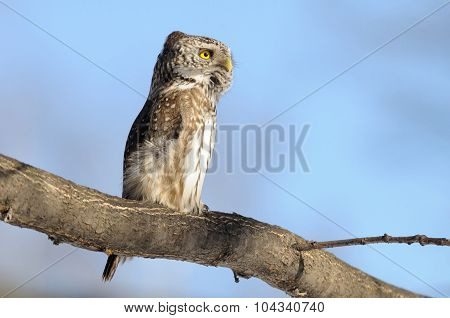 Stretched Pygmy Owl