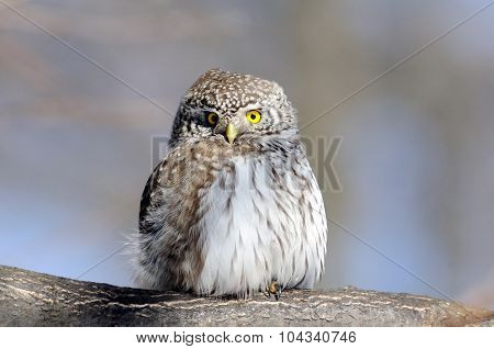 Front View Of Perching Pygmy Owl In Spring