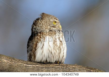 Profile Of Perching Pygmy Owl In Spring