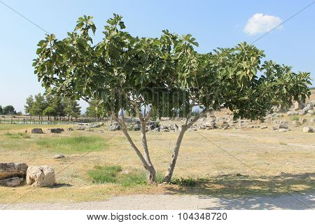 Fig tree in Hierapolis ruins of the ancient city