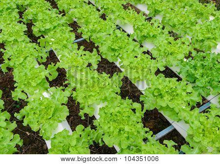 Hydroponics Green Leaf Lettuce Vegetable