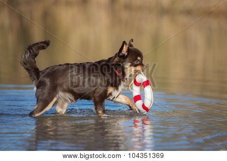 dog carrying a life buoy in water