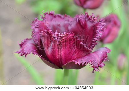 Burgundy tulip. Black Jewel tulip.