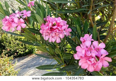 Blossoming Branch Of A Pink Oleander
