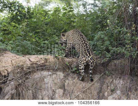 A Jaguar Climbs