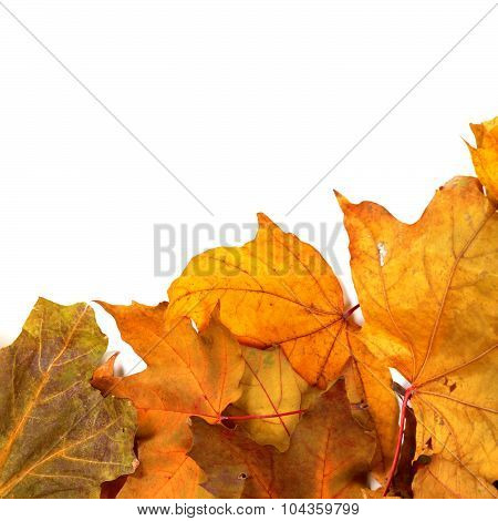 Autumn Dried Maple-leafs