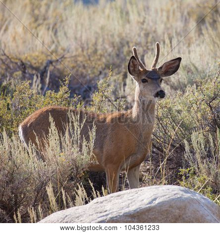 Young Buck Mule Deer
