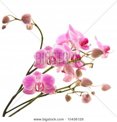 pink stripy phalaenopsis