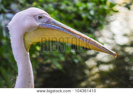 Head Of A Beautiful Pink Pelican