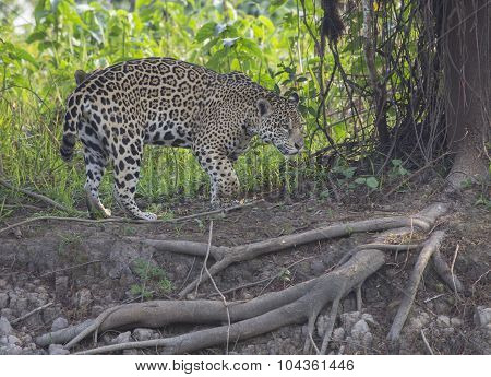 Female Jaguar on the Prowl