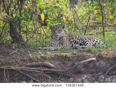Female Jaguar at Rest