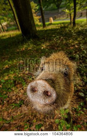 Sniffing Wild Boar Snout From Closeup In Colorful Forest