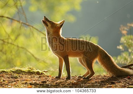 Red Fox From Side In Beauty Autumn Backllight