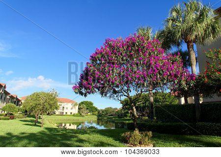 Tibouchina Tree in full bloom