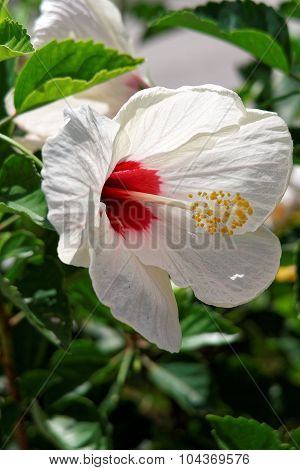 Blooming White Hibiscus Flower