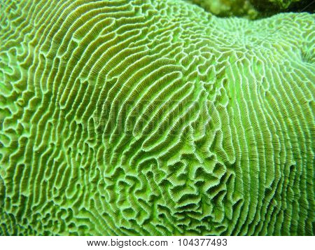 Brain coral, Platygyra sinensis
