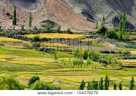 Ladakh Landscape, Green Valley Field , Agriculture, Basgo, Leh, Ladakh, India