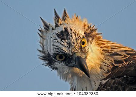 Diagonal Portrait Of Osprey