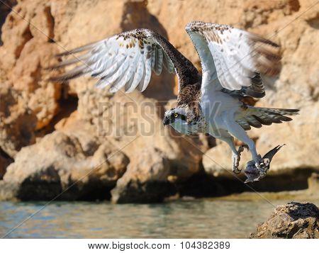 Osprey Take-off With Prey