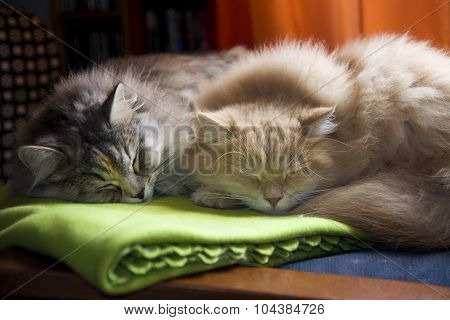Pet and animal. Nap for two Siberian cats.