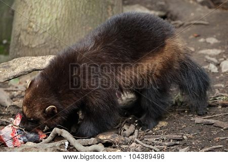 Wolverine (Gulo gulo), also known as the glutton. Wildlife animal.
