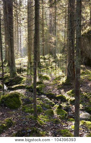 Trees In Forest At Backlight