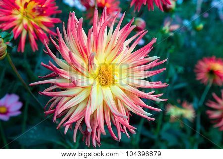 Pink tipped dahlia flower.