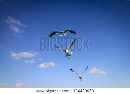 Three Laughing Gulls with sunny blue sky in the backdrop