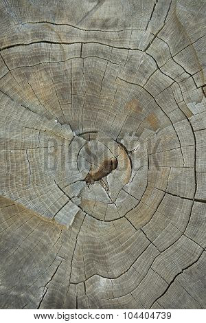 Tree Stump Top View Close Up. Texture Of Old Dry Tree Stump With Cracks