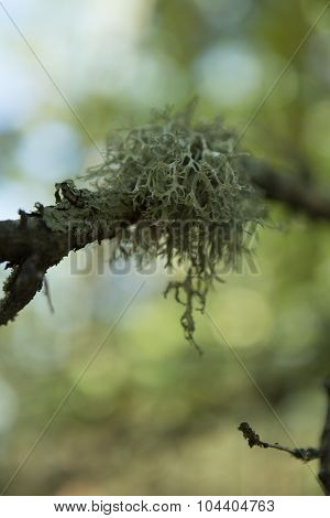 Moss (northern Reindeer) On The Forest Background