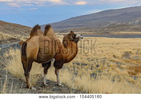 Camel Portrait Graze Mountains