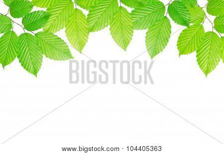 hornbeam leaves background