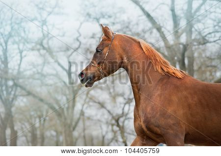 Portrait of beautiful red horse Arabian breed.