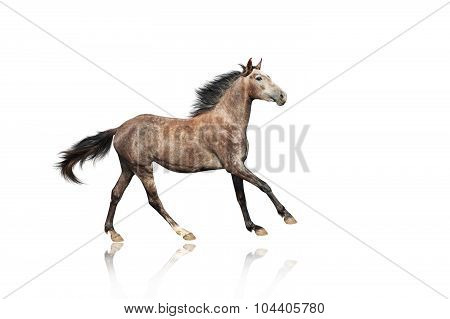 A beautiful brown-gray horse galloping unusual suit. Isolated on a white background.
