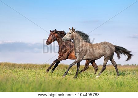 Beautiful pair of brown and gray horse galloping across the field on a background of blue sky
