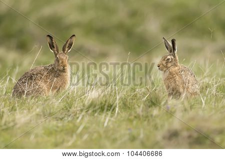 Two Brown Hares, sitting on the grass in a field