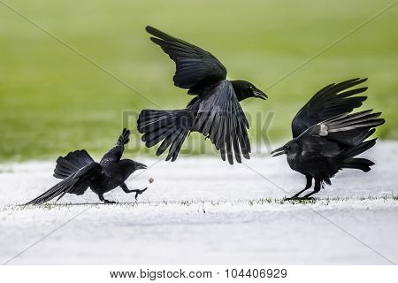 Crows Corvus corone on frosty ground in the Winter