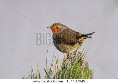 Robin perched on a clump of grass close up