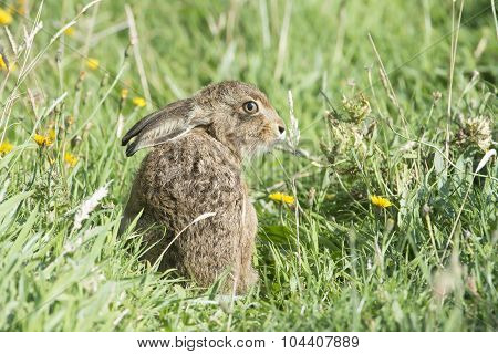 Hare, Lepus, juvenile sitting in the grass