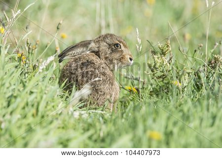 Hare, Lepus, juvenile sitting on the grass