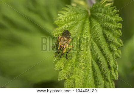 Tacinid fly resting on a green leaf