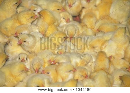 Crowded Farm Chicks