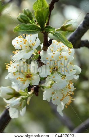 White Flowers Blossoming